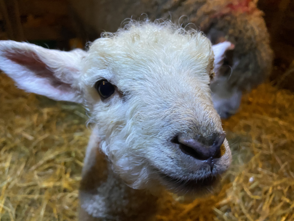 Lambing Weekend (Mar) CANCELLED