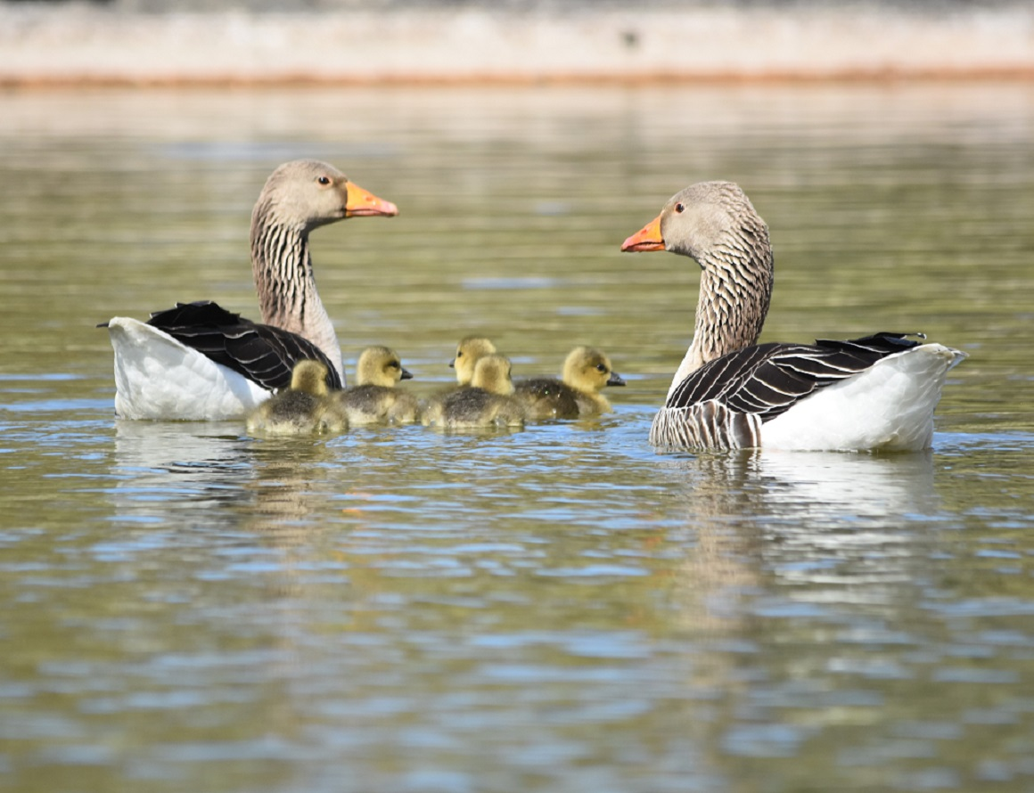 Geese and goslings on the pond
